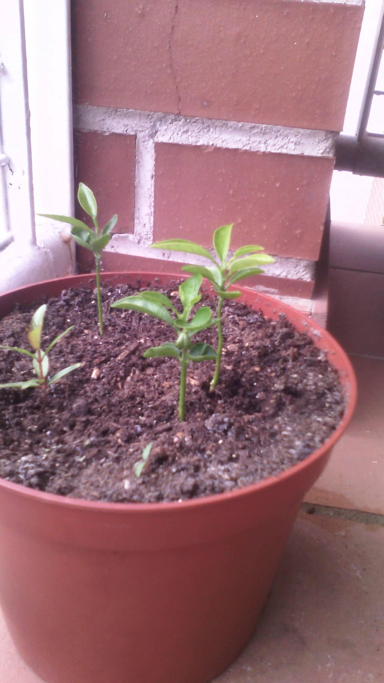 Manzano y almendro plantado desde semilla. IMG_20150619_141257_1