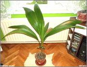 Cocos nucifera - Stránka 3 DSC08095