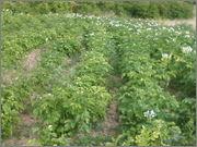 Krumpir       - Page 2 Fotografija_0482