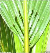 Cocos nucifera - Stránka 4 DSC08330