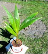 Cocos nucifera - Stránka 3 DSC07246