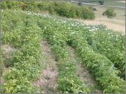 Krumpir       - Page 2 Fotografija_0481