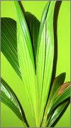 Cocos nucifera - Stránka 4 DSC08325