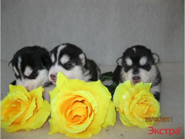 Продаются щенки Сибирских хаски 4f7be65bd085