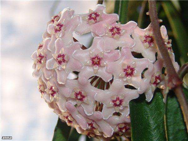 Hoyablüten 2011 - Seite 17 Da3d65490a10