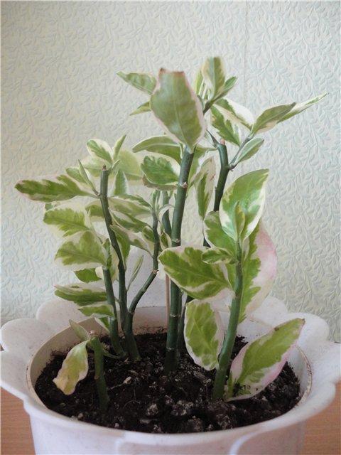 Педилантус (Pedilanthus) Fa2eab708fc8