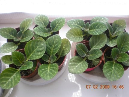 Размножение глоксиний семенами - Страница 11 2306f68abd80