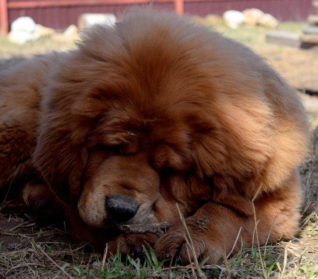 «Tibetan Mastiff Breeding Plans and Puppies for Sale». Eced7481daa8