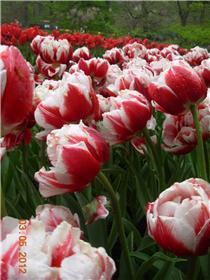 Рай тюльпанов или Кёкнхов - 2012 805e4c83e0d2t