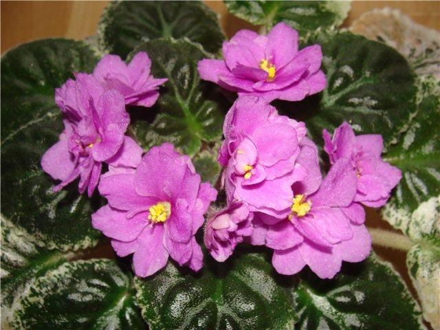 Весеннее  цветение (Хваст от Веры) - Страница 4 7bcc70be34c5