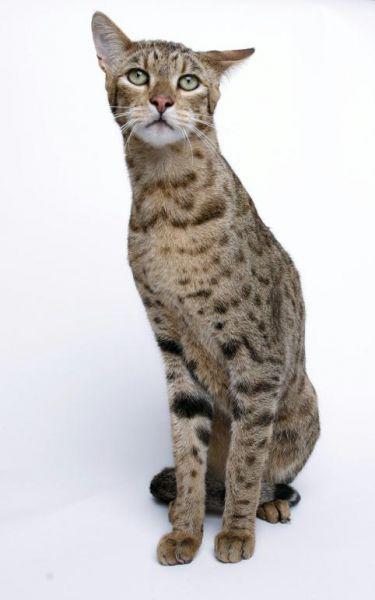 Необычные и редкие породы кошек и собак 2221afdb7e23