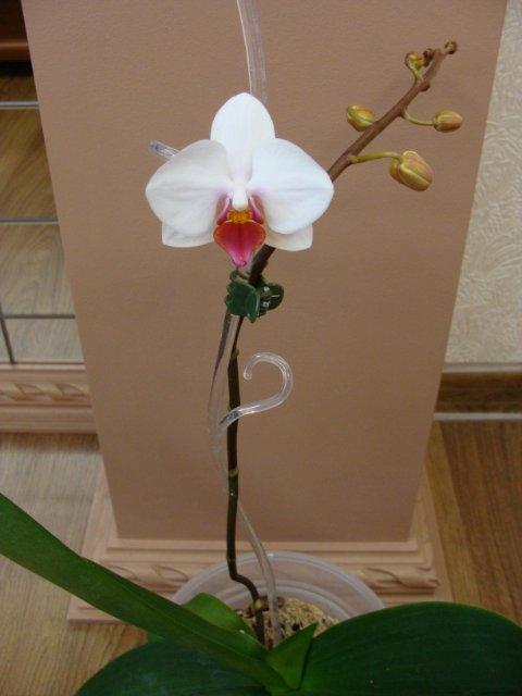 Орхидеи - Страница 4 4f51266fcaa5