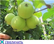 Яблоня: сорта и агротехника. A5a280a8da8ft