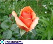 Розы 2011 10551d58767ft