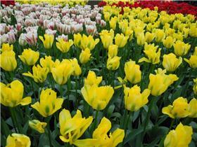 Рай тюльпанов или Кёкнхов - 2012 D3bbd582cffdt