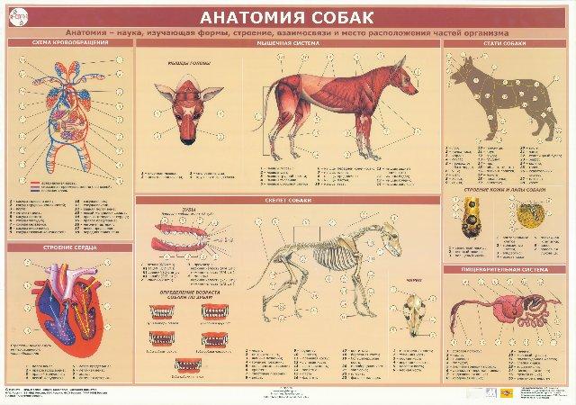 Анатомо-физиологические особенности собак 06d740670545