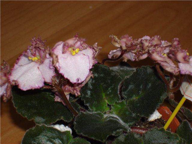 Raspberry Crisp 6f85c4b9923a