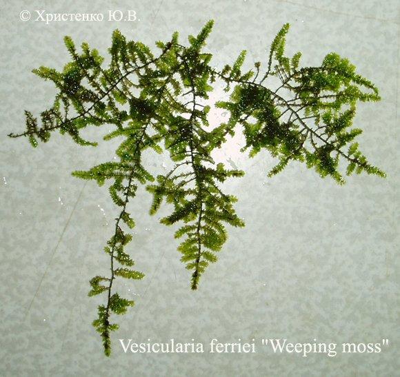 Аквариумные растения - Мхи 22cda1e83889