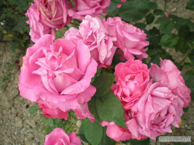 Крым. Никитский ботанический сад. - Страница 2 7339b9b58e6e