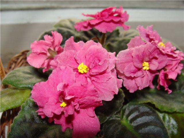 Продам цветущие фиалки и детки, эписции, глоксиии, сортовые герани, сингониум и др. 865e75041c74