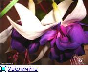 ФУКСИИ В ХАБАРОВСКЕ  - Страница 2 667ef4477310t