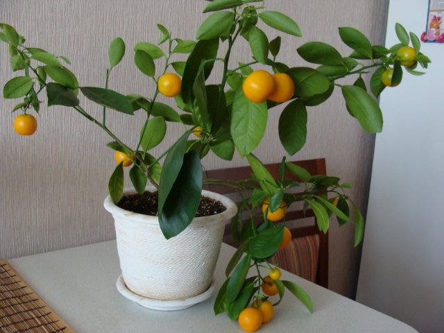 Плодовые - Страница 4 9f07385fe088
