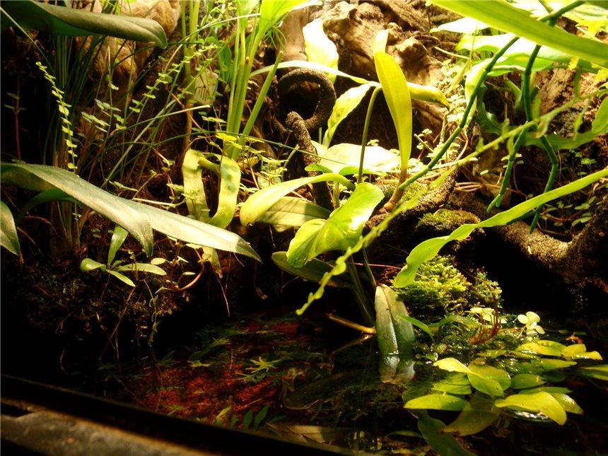 Американские карликовые гекконы 6a7f0198f590