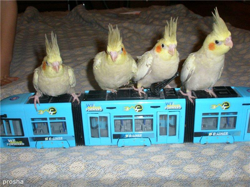 продам птенцов кореллы Украина, Харьков A86c83fe0c23