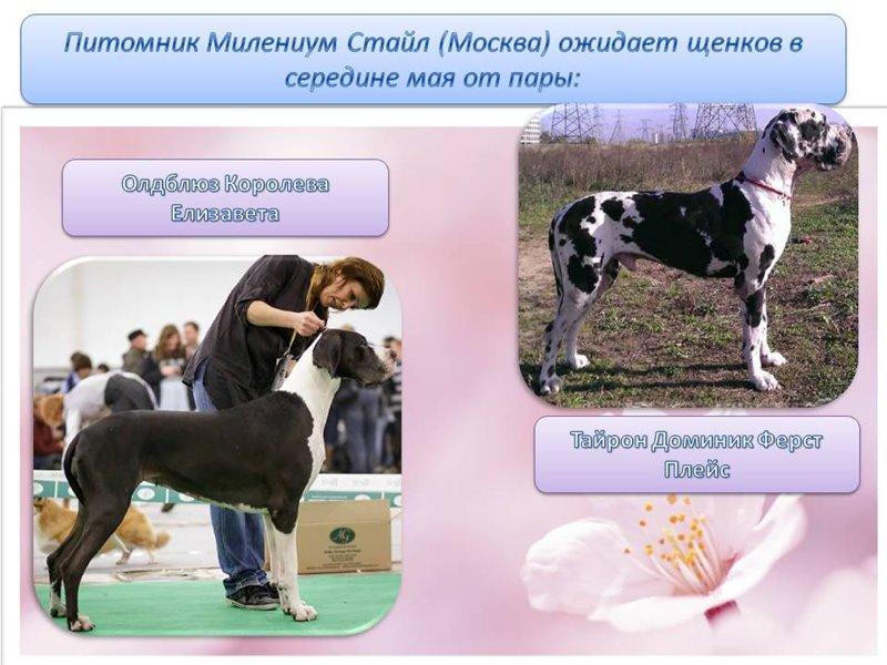 Милениум Стайл(Москва)-ожидаем щенков в середине мая! Af91643f8343