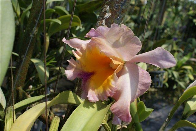 Орхидеи и прочая красота на о. Пхукет - Страница 19 5cf2acd20115