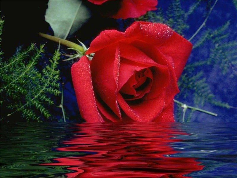 Роза       533171ee9572