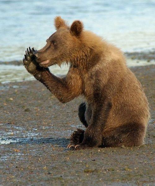 Ничто человеческое медведям не чуждо 9dc4a0f45c29