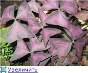 Оксалис (Оxalis) или Кислица 9213878c6ef7t