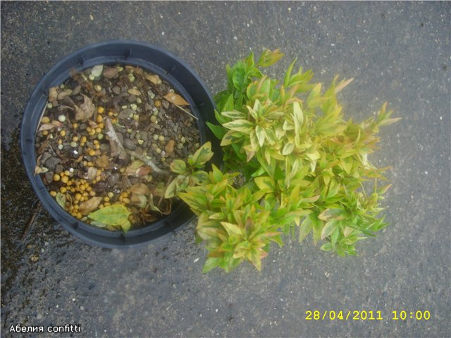 Растения из Сочинского питомника - Страница 3 4c4e20859247