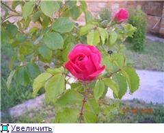 Мои любимые цветы- розы - Страница 3 623e5a2c3f65t