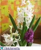 Выгонка луковичных. Тюльпаны, крокусы и др. - Страница 3 F21e51b99682t