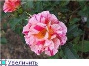 Розы 2011 Ed2a23775e7dt