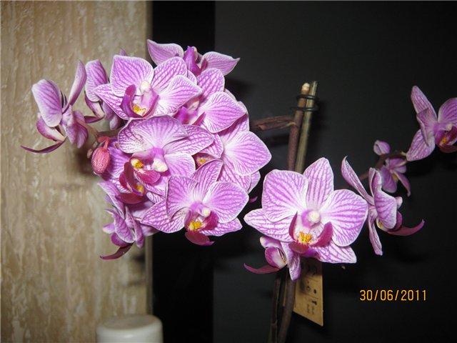 Разведение орхидей. - Страница 13 Ffbd1b1d478a