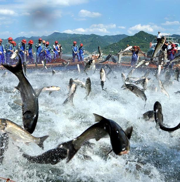 Озеро Циндаоху.Летающие рыбы Aac40811c498