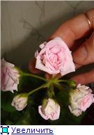 Продам цветущие фиалки и детки, эписции, глоксиии, сортовые герани, сингониум и др. - Страница 2 7ad1a7bb36d5t