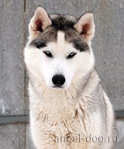 Ищем жениха!!! (Сибирский Хаски) 5700d34f107f
