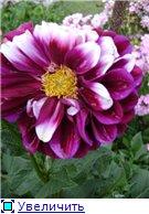 Георгины в цвету - Страница 2 0d6aea3b4410t