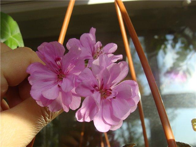 Весеннее  цветение (Хваст от Веры) - Страница 8 8549bc69c7c8