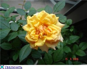Розы в комнатной культуре 9cf16d5710cbt