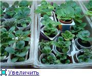 Продам цветущие фиалки и детки, эписции, глоксиии, сортовые герани, сингониум и др. - Страница 2 Baa94cef5af3t