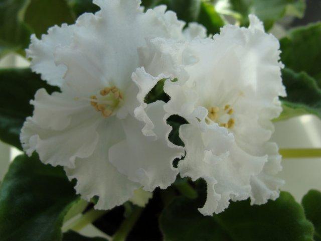 Мои цветочки - Страница 13 9c554ff3aa2d