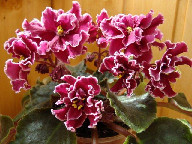 Мои цветочки - Страница 23 Ee4f5e6f5ec8