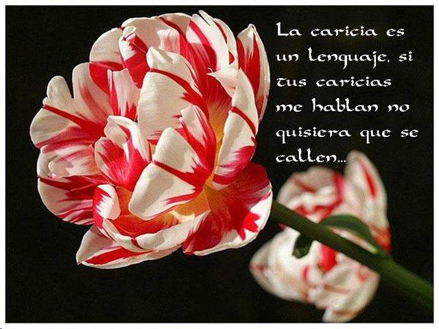 Te hablo con un tulipan 9b89e4f05ced