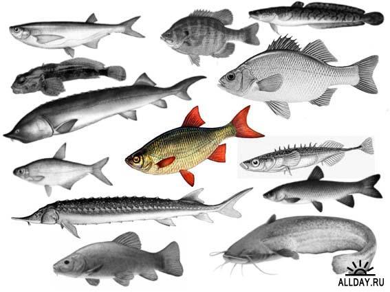 Рыбы Bdfb0d530071