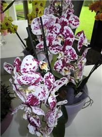 Рай тюльпанов или Кёкнхов - 2012 E96f39ebd80ft